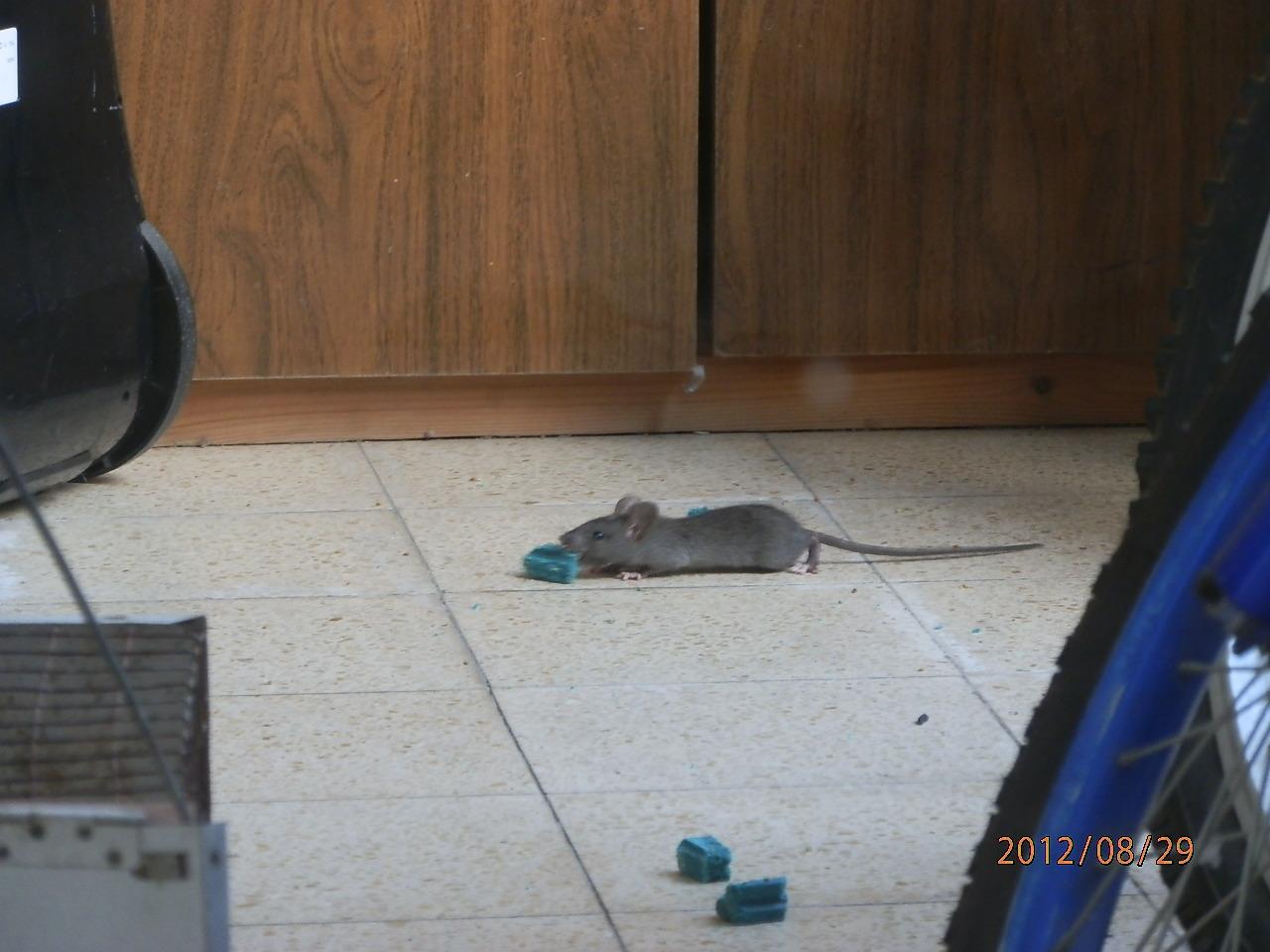 крыса жрет яд