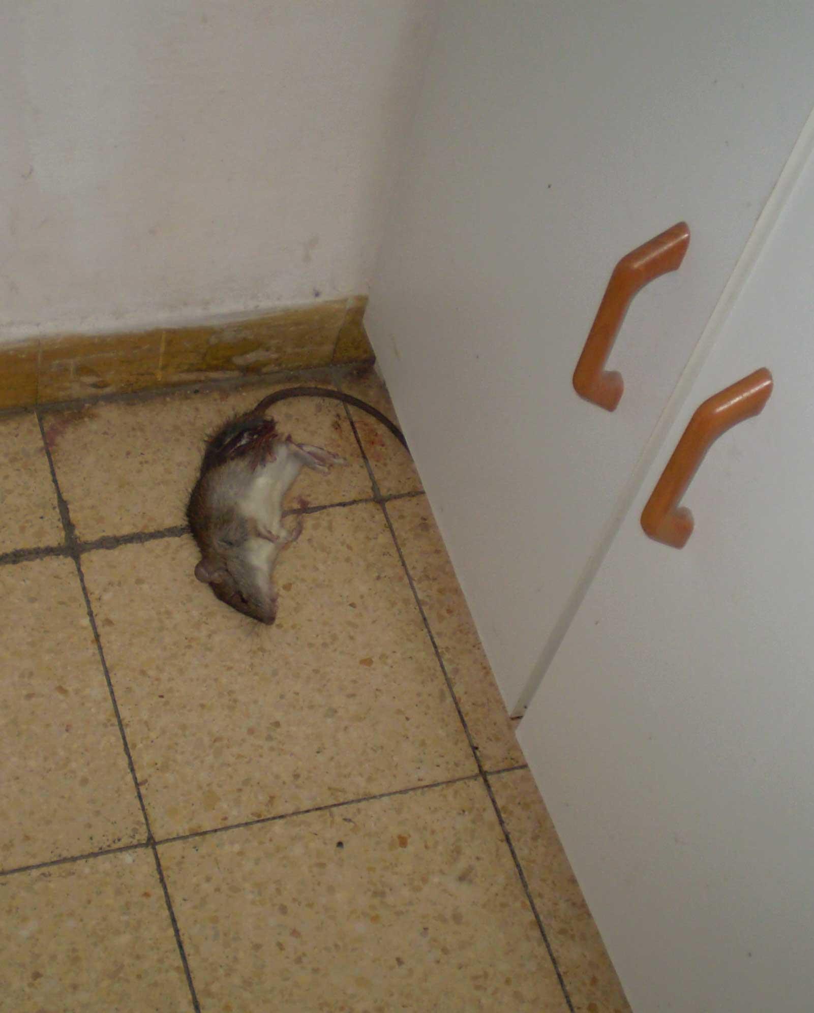дохлая крыса